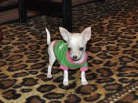 Registered tiny female chi puppy for sale. She is 15