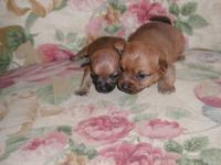 We have some super tiny chihuahua puppies male and