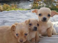 Two litters of darling chihuahua babies. My two fur