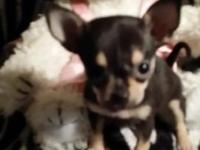 adorable tiny chocolate /tan Chihuahua pups...shots