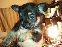 Perfect little toy young puppies toy chihuahua/toy