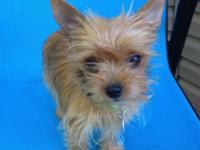 Cute, charming, charming 4lb Chorkie. Her mother is a