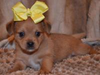 Tiny Chorkie Memphis--- Male Chorkie