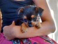 2 black Yorkie/Chihuahua puppy female young puppies -9