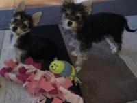 Spin and Marty are yorkie/chihuahua mixes. They are 12