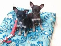 Sweet little Chorkie (Chihuahua/ Yorkie) puppies, born