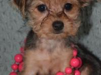 ON SALE NOW (450.00)- Precious TINY Chloe (Chorkie)