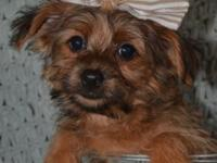 "Tiny ""Chantilly-Lace""- (Chorkie) (Chihuahua/Yorkshire"