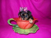 Adorable Toy Chorkie Puppies. 1 long hair boy $300, 1