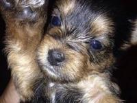 We have a beautiful litter of 7 Tiny Yorkies available