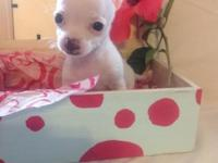 CKC registered small female chihuahua. born 5-20-2014.