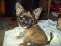 I have an amazing litter of Chihuahua puppies!! These