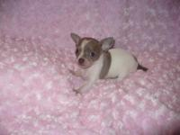Tiny and precious CKC Chihuahua puppies. 1 black and