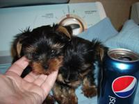Beautiful little Male Yorkies averaging out to be 4-4