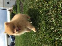 I have two CKC Pomeranian puppies for sale, one female