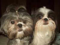 I have a pair of beautiful shih tzu. I bought them when