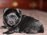 Gorgeous, Tiny CKC Registered Parti Male Teacup Poodle