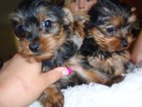 Beautiful little tiny Yorkies... I have 2 females that