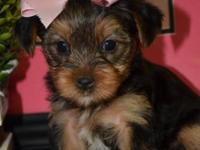 XS EvelynJean - SALE NOW ($900.00) --Yorkshire Terrier
