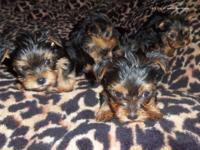 Ckc reg. Blue & & gold Yorkshire terrier puppies. some