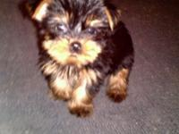 THIS PRECIOUS TEACUP YORKIE, IS CKC REGISTERED WITH