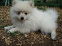 Small triple coat 9 week old Pomeranian new puppies as