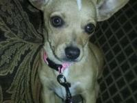pure breed tea cup chihuahua very friendly i pay 700