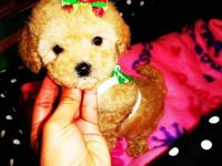 High quality maltipoo puppies. Current in their