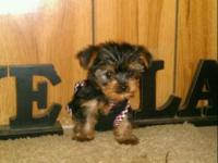 PRECIOUS,LOVEABLE TEACUP YORKIE, IS CKC REGISTERED WITH