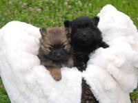 Beautiful AKC Pomeranian Puppies! Will be 6 weeks old