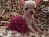 9 week old purebred Chihuahua dog available now !!