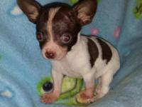 2 tiny female young puppies each $600. Both are ready