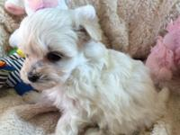 This very little female Poodle/Maltese mix (Malti-Poo)