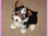 Beautiful female AKC Registered Parti Yorkie Pup, born