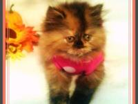 Persian kitten, very small, adorable, playful and