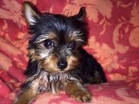 Beautiful Tiny Female Yorkshire Puppy for sale! She is