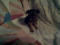 Yorkshire terrier puppies females. These puppies are