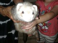 Tiny is a handsome chocolate ferret born 9-13-16. He is