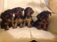 The father is a 4.5 lb. full bred Yorkshire Terrier. He