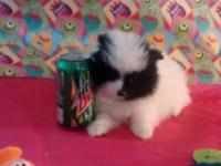 Theses are 9 week old Purebred Teacup Pomeranian