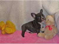 Male and female French Bulldog puppies for adoption. 12