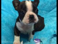 We have one absolutely adorable SUPER SMALL Frenchton