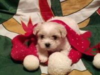 Amazingly precious Christmas young puppies ready to