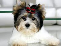 Adorable Biewer Puppy 5month old Male He is Tiny, only