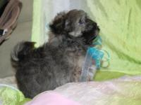 Sweet little Havanese boy is now ready for his new