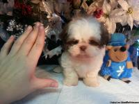 2 small Imperial Shih-Tzu puppies.1 girl and 1 child.