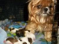 I have 4 beautiful, very tiny Imperial Shih Tzu puppies
