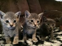 Two diluted grey calico females and one gray male. Six