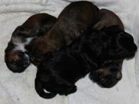Weaver's Pets currently has two litters of shorkie