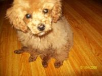 I have a female poodle puppy looking for her for life